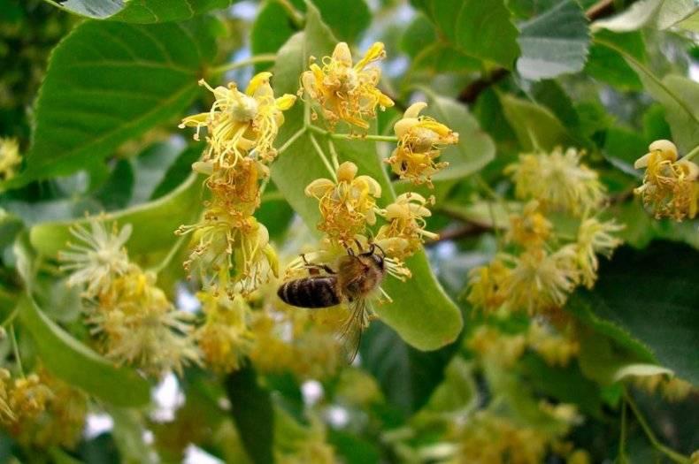 Растения медоносы: сезонность медоносных растений. топ-10 медоносов для повышения медопродуктивности пасеки   огородники