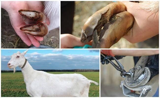 Обрезка копыт у коз: как постричь при утолщении