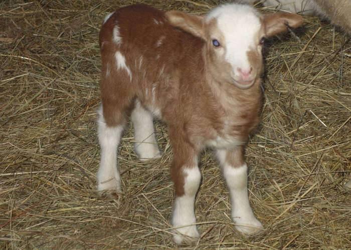 Катумские овцы: описание породы