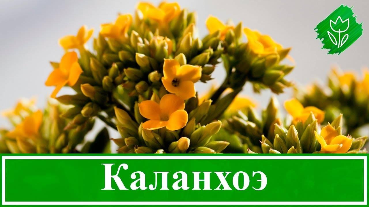 Пересадка каланхоэ. размножение и уход в домашних условиях