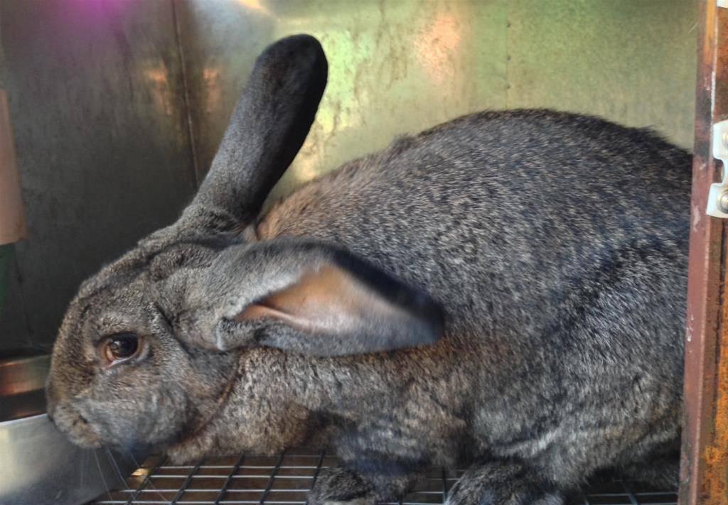 Порода кроликов немецкий ризен