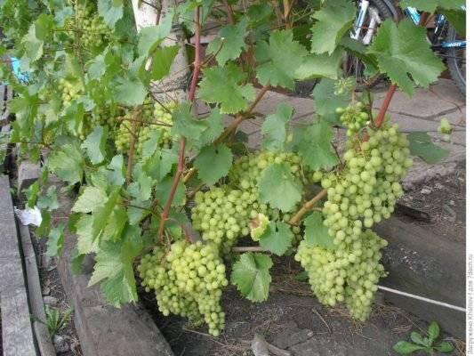 Виноград блестящий: краткое описание сорта и характеристики, особенности выращивания, секреты высокой урожайности, советы опытных садоводов
