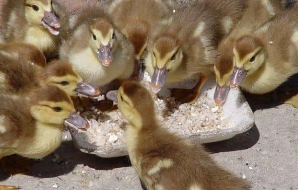Можно ли тривитамин добавлять в воду. использование тривитамина п для цыплят