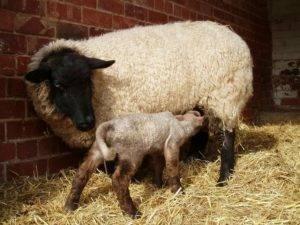 Спаривание овец: когда наступает половая зрелость и методы осеменения