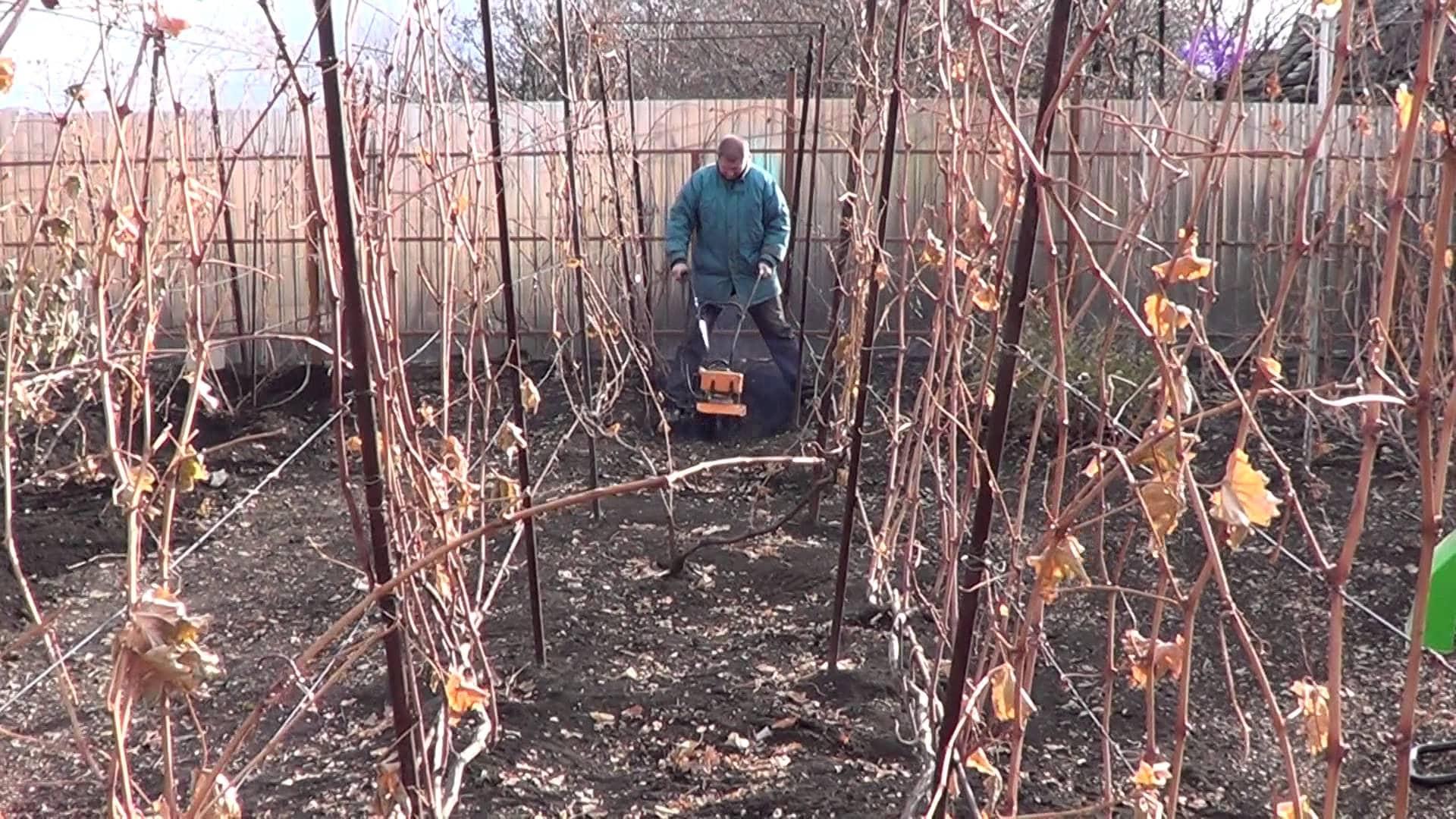 Подкормка винограда осенью: органическая и минеральная, когда проводить