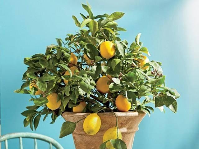 Как привить лимон и для чего это нужно