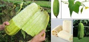 Особенности выращивания люффы – посадка, размножение, уход, борьба с вредителями