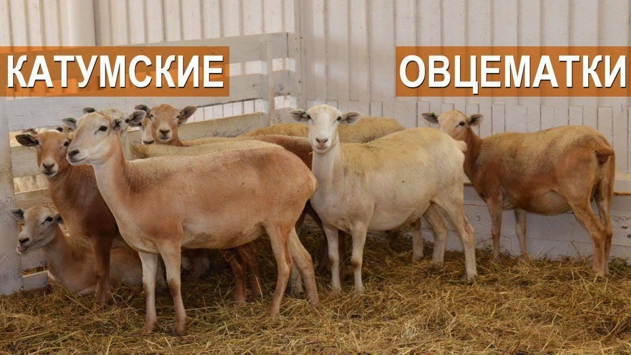Катумские овцы: описание породы и характеристика, отзывы владельцев, фото, видео