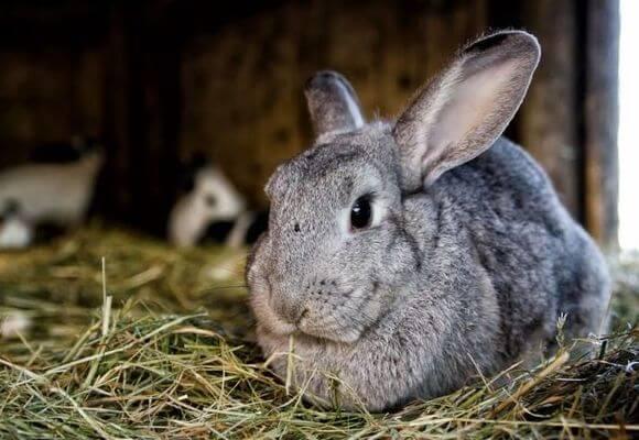 Сколько длится беременность у кроликов, срок сукрольности крольчихи.