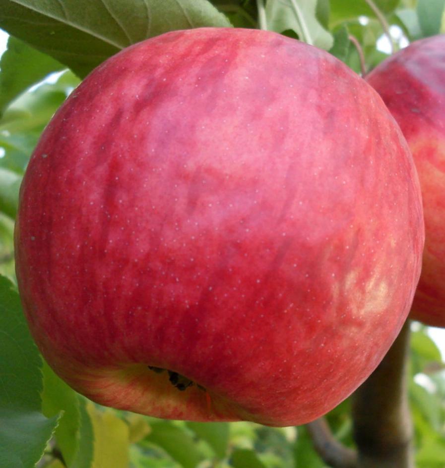 Ранние сорта яблонь для подмосковья с фото и описанием, в том числе карликовые и колоновидные