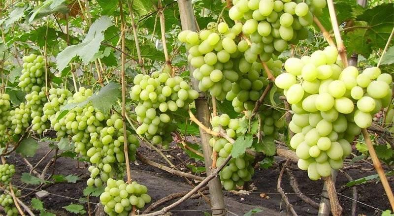 Особенности ухода и высадки винограда подарок запорожью