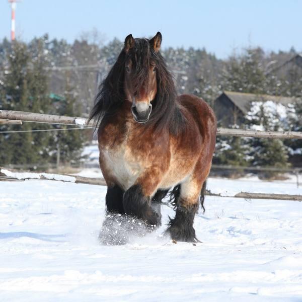 Терская порода лошадей (24 фото): описание, происхождение и содержание
