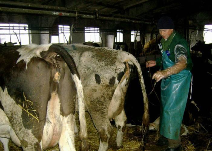 Понос у коров: причины и лечение 2021