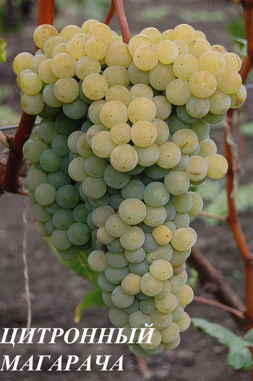 Сорт винограда подарок магарача