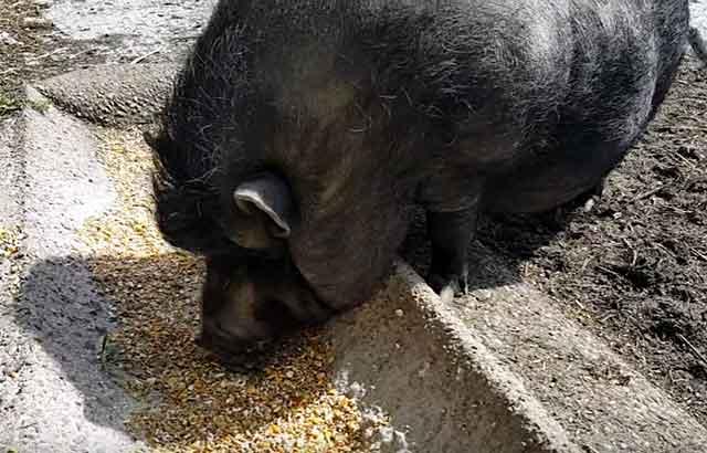 Кормовые дрожжи для свиней: свойства, виды, дозировка