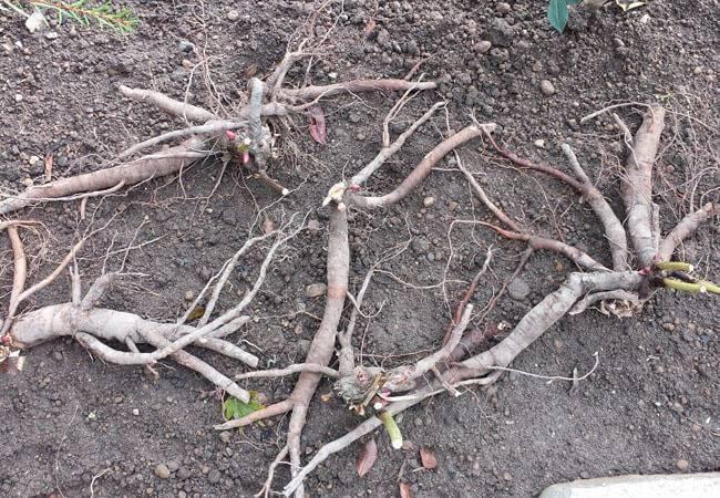 Размножение пионов: лучшие способы из одного куста сделать целую клумбу | огородники