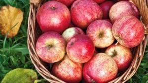 Яблоня «штрифель»: описание сорта, фото, отзывы