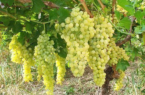 Чем обработать виноград весной после открытия от болезней и вредителей, средства