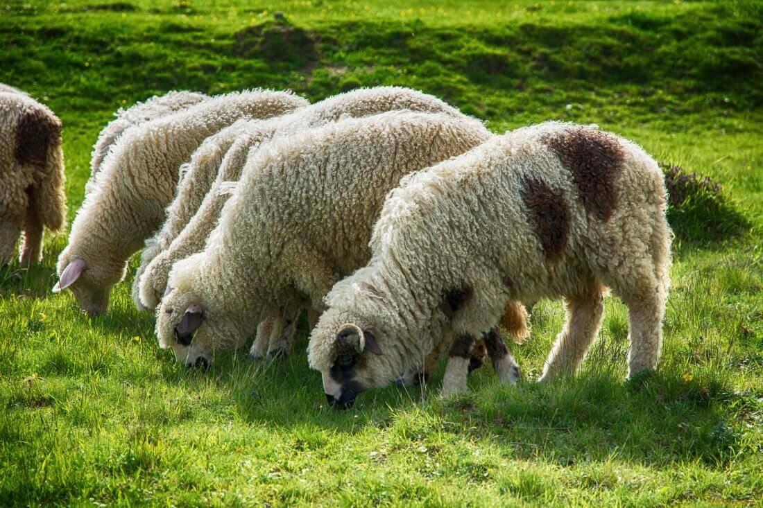 Как правильно разводить овец? правила содержания овец, обустройство стойла и составление рациона