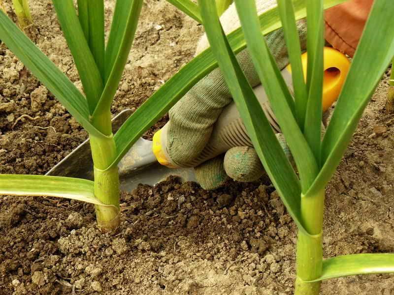 Удобрение для чеснока, сроки внесения подкормок