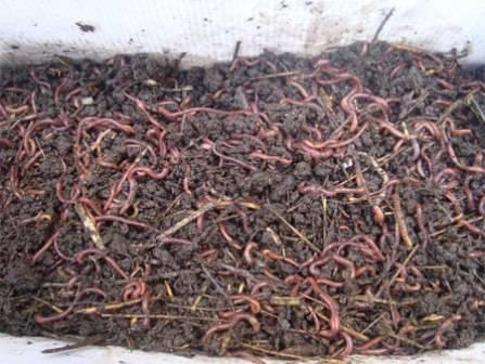 Калифорнийские черви - разведение в домашних условиях