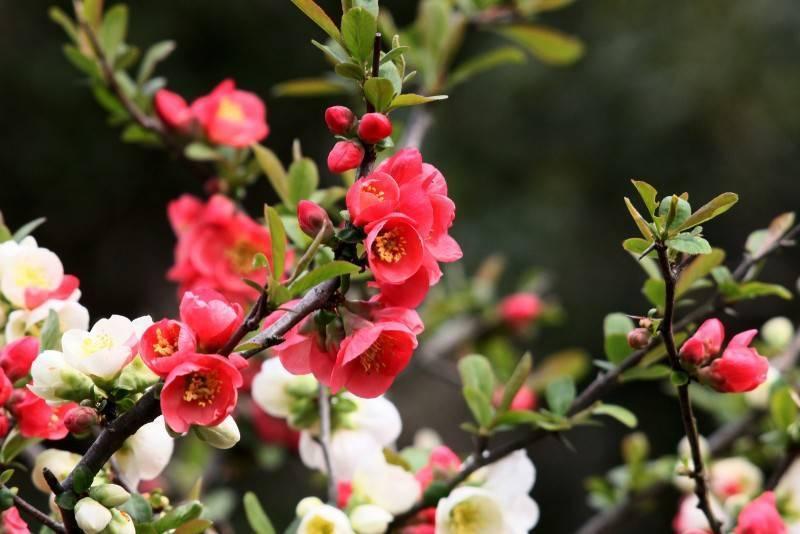 Айва японская: особенности и описание кустарника, способы размножения