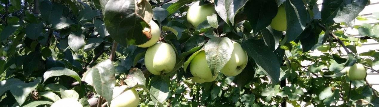 Яблоня сорта сахарный аркад: ботаническое описание и основные отличия, оптимальные условия для выращивания, фото