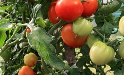 Особенности окучивания помидор