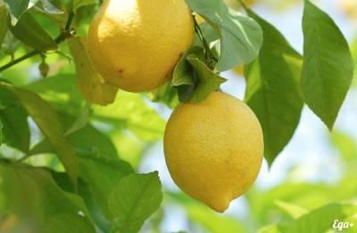 К чему снится лимон?