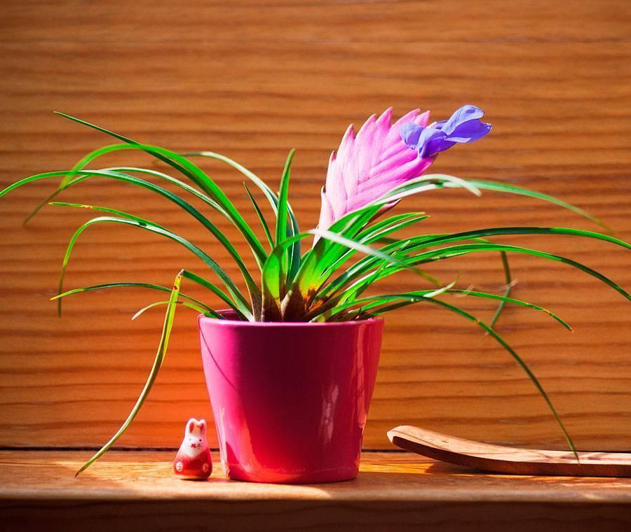 Как ухаживать дома за бромелией, комнатным растением, уход после цветения