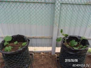 Способы посадки кабачков в открытом грунте