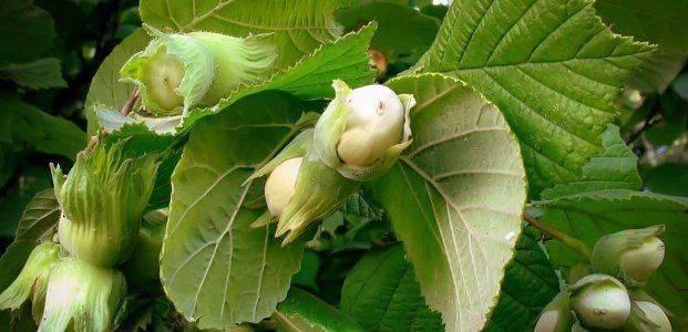 Размножение лещины: описание разных способов   огородники