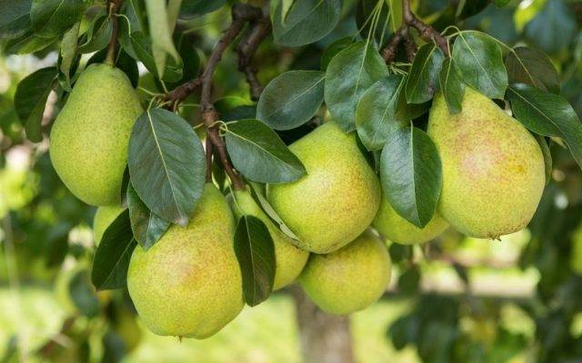 Как сажать груши друг от друга и плодовых культур: советы по планировке участка