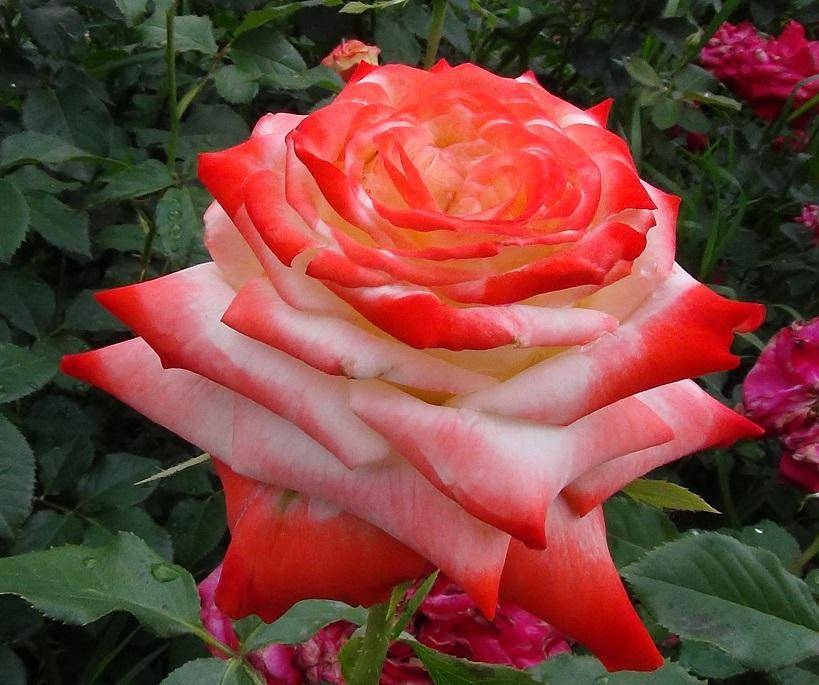 Императрица фарах: подробное описание розы