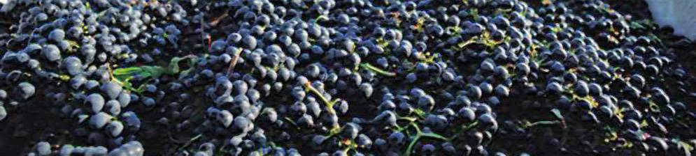 Виноград красень: описание сорта, выращивание и отзывы
