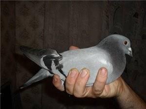 Как поймать голубя руками: как сделать ловушку для ловли голубей