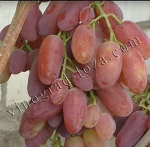 Сорт винограда виктор: описание, размножение и уход