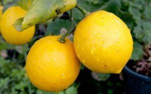 Сонник лимон. к чему снится лимон во сне женщине и мужчине