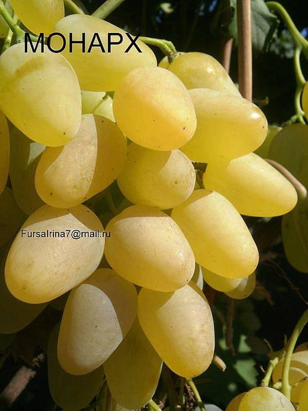 Виноградный сорт ягуар — описание и правила агротехники