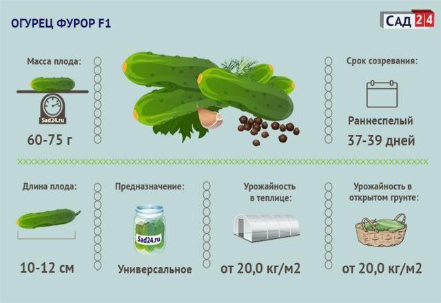 Огурцы фурор: отзывы, фото, урожайность