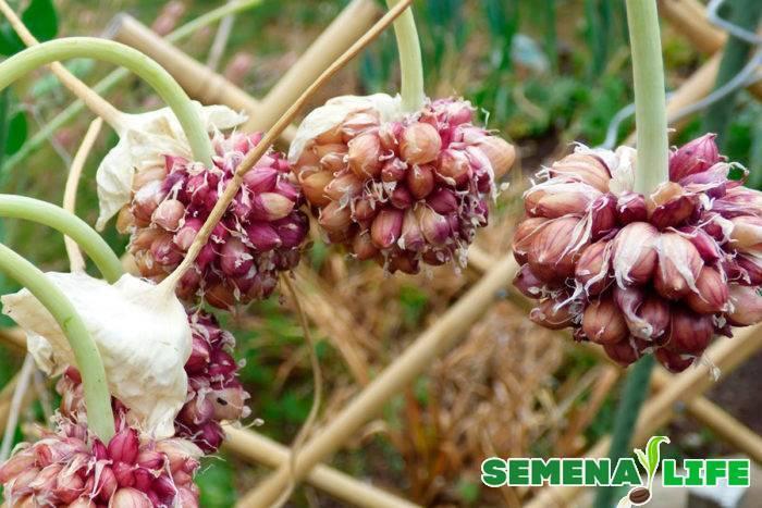 Как из бульбочек вырастить чеснок в открытом грунте: как и когда сажать