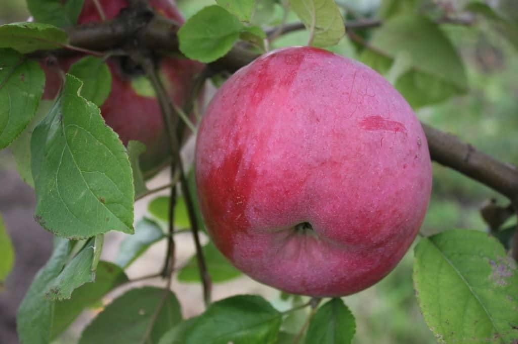 Сорт яблони флорина – описание, фото