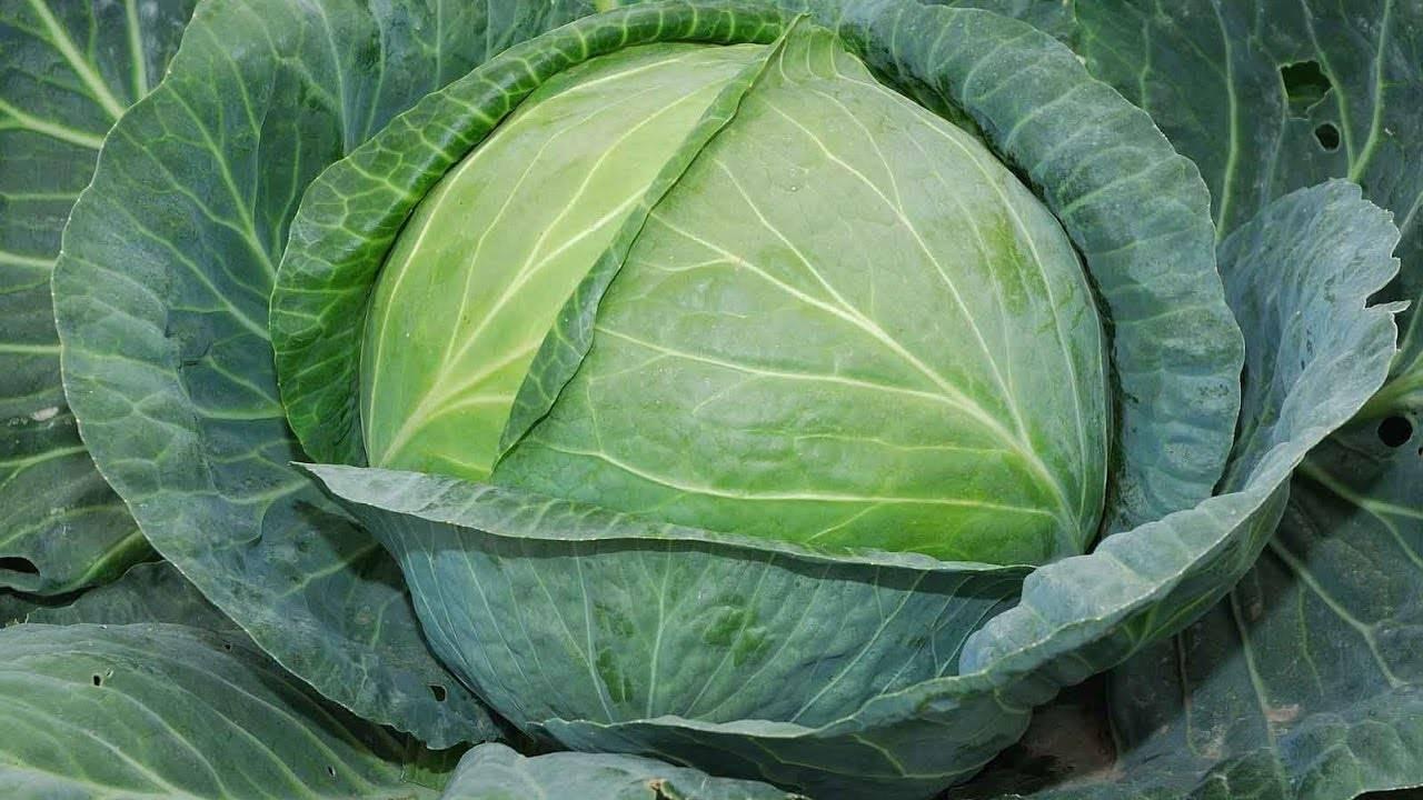 Овальные кочаны для витаминных салатов — капуста пруктор f1: подробная характеристика
