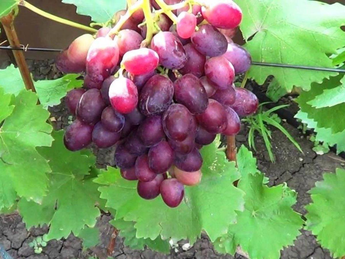 Виноград потомок ризамата: описание сорта, отзывы и фото