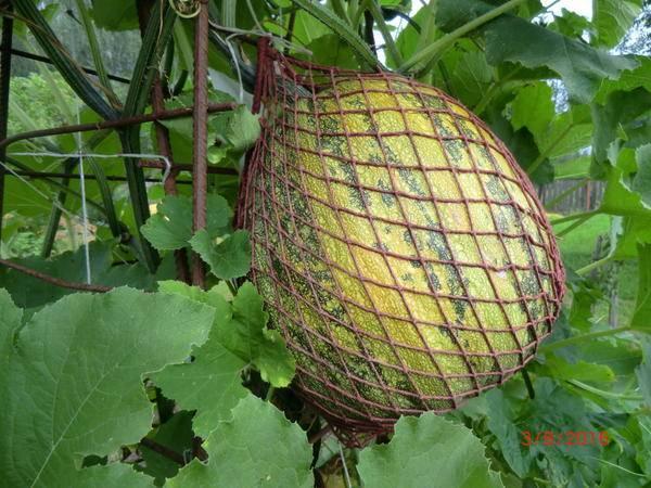 Голосемянная тыква: группа практикум садовода и огородника