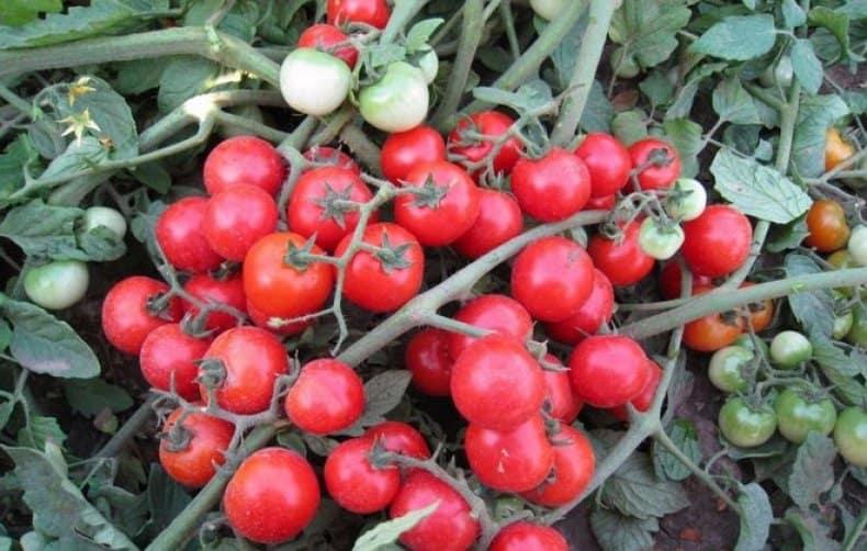 Томат лабрадор: описание и характеристика сорта, отзывы садоводов с фото