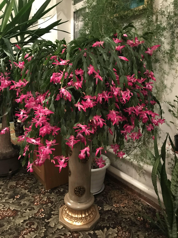 Почему не цветет декабрист | sovetyli