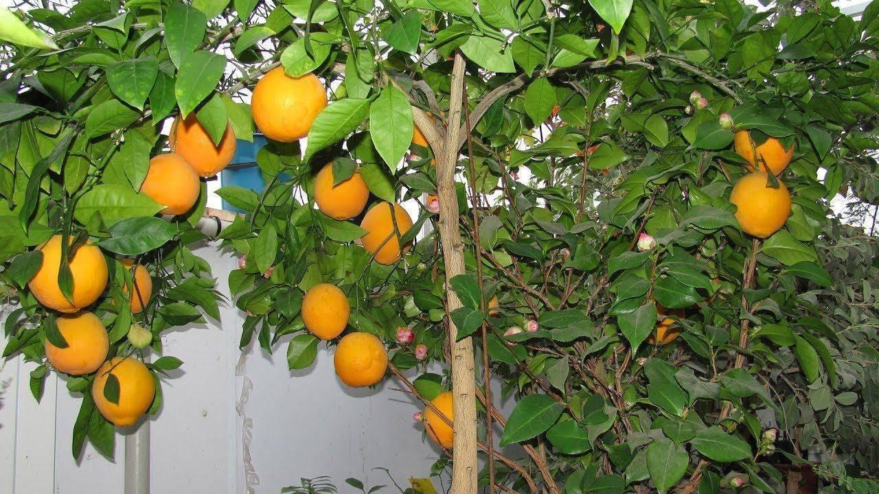Апельсин – описание, виды и сорта, как растут, гибриды, фото