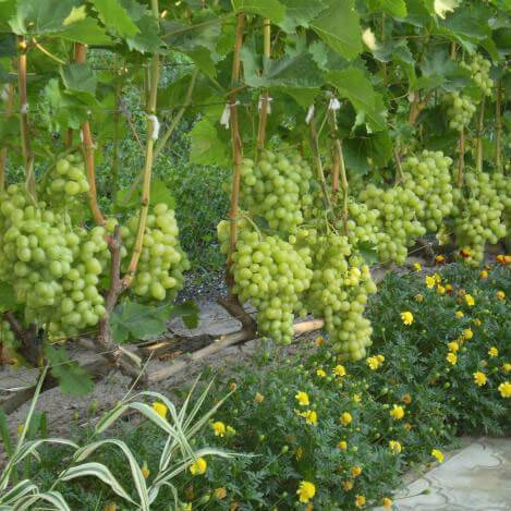 10 лучших неукрывных сортов винограда — рейтинг 2020 года (топ 10)