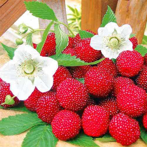 Правильное выращивание малины: фото, видео, особенности ухода весной и осенью, заготовка сырья